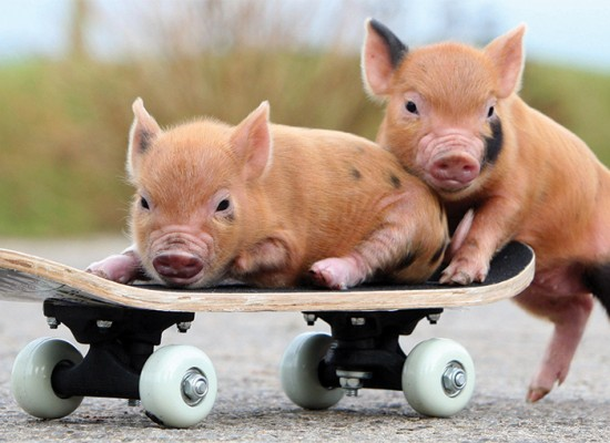 Pigs on Skateboard
